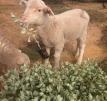 sheep-love-anameka