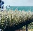 Rivermore Saltbush - Atriplex amnicola