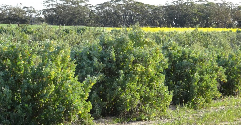 Anameka grown in field